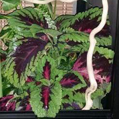 Coleus plant in a chameleon cage