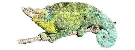 Jackson's Chameleon thumbnail