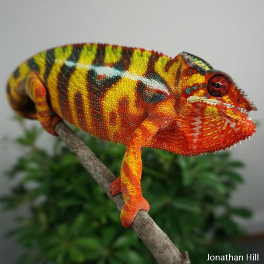 3rd gen Panther Chameleon from Jonathan Hill