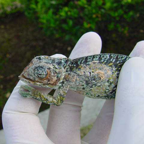 fungal infection of carpet chameleon
