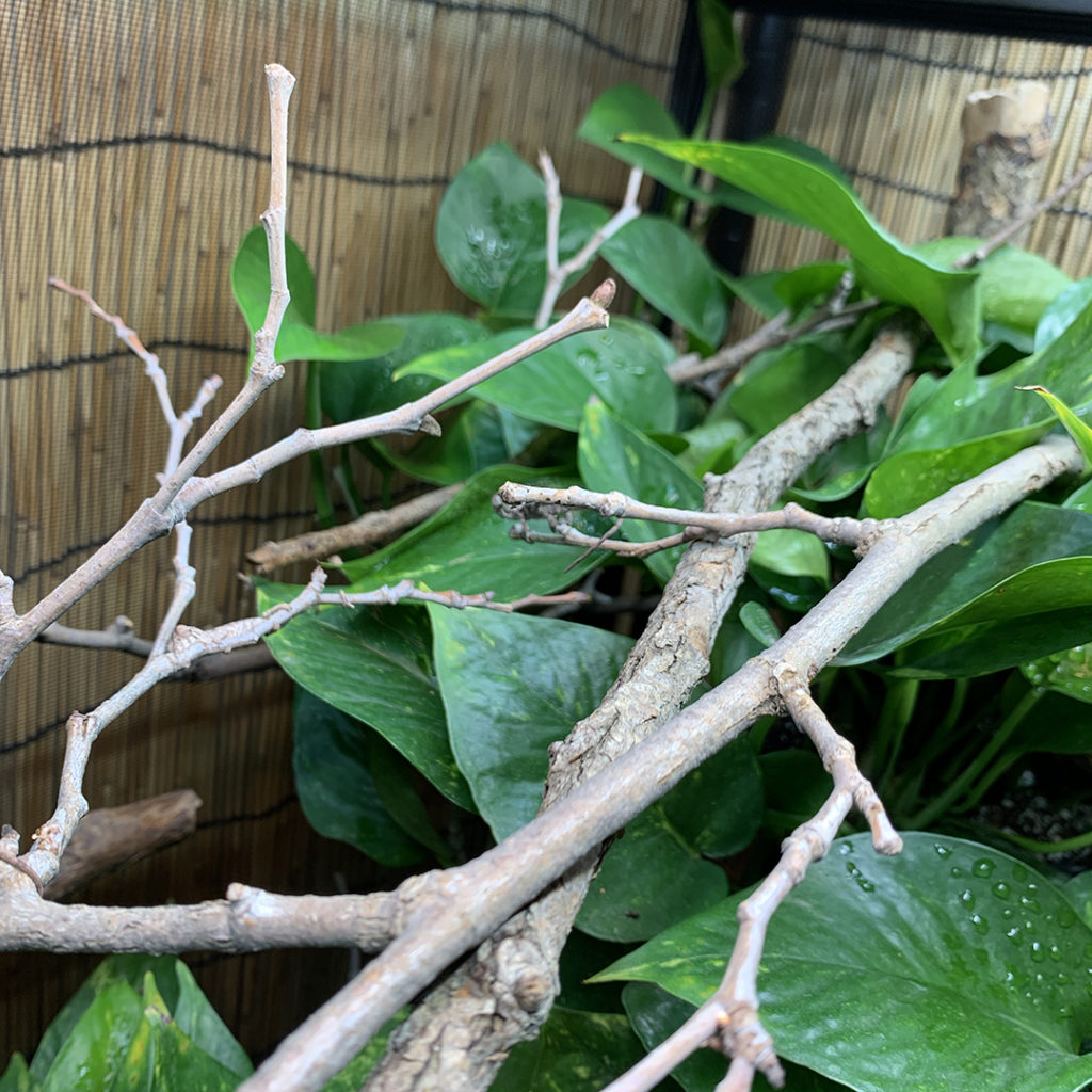 Network branching in a chameleon cage
