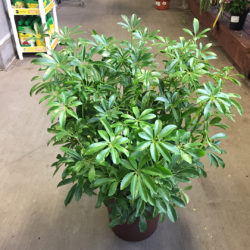 Schefflera arboricola as centerpiece