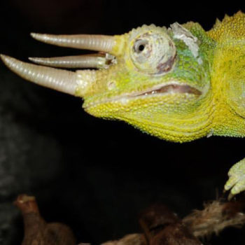 Male Jacksons Chameleon with TGI