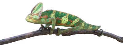 Veiled Chameleon thumbnail