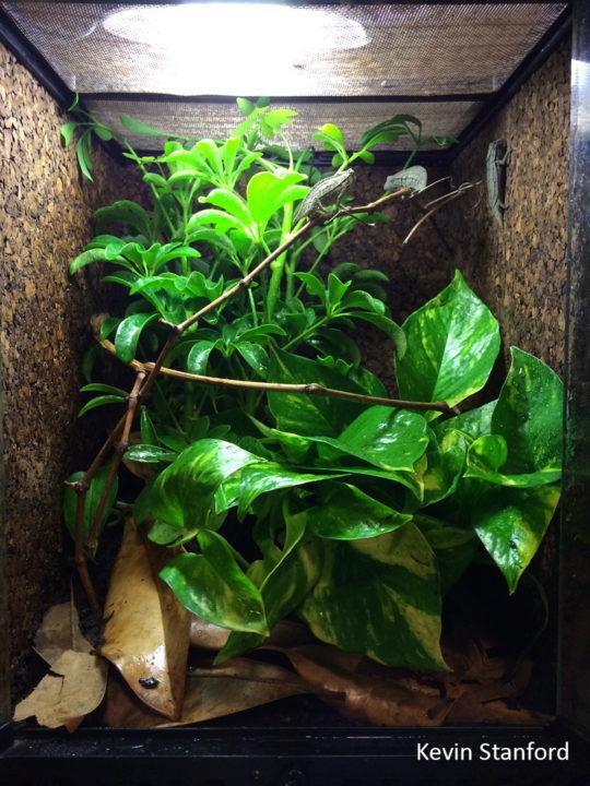 brevicaudatus in glass chameleon cage