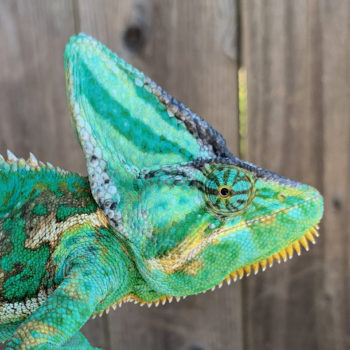 healthy eye veiled chameleon