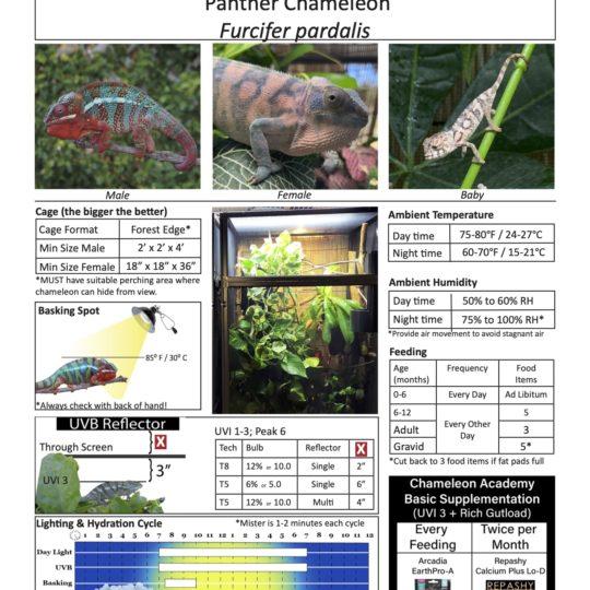 panther chameleon care sheet image
