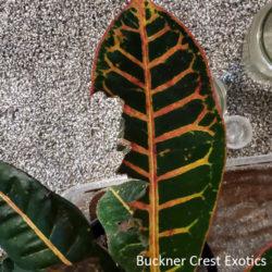 Croton plant with chameleon bites