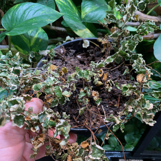 Ficus Pumila dehydrated