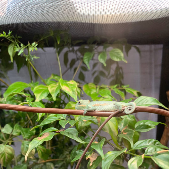 Veiled Chameleon Basking