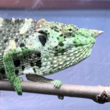 meller's chameleon horn