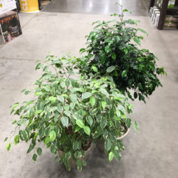 Pair of Ficus trees for chameleons
