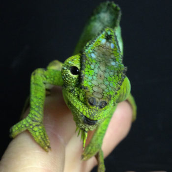 quadricornis chameleon with rubbed off horns