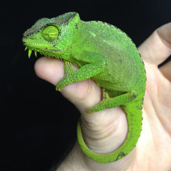 Chameleon sleeping on hand