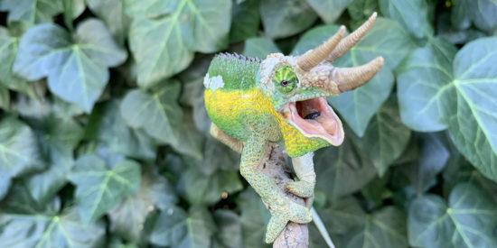 Gaping Jackson's Chameleon
