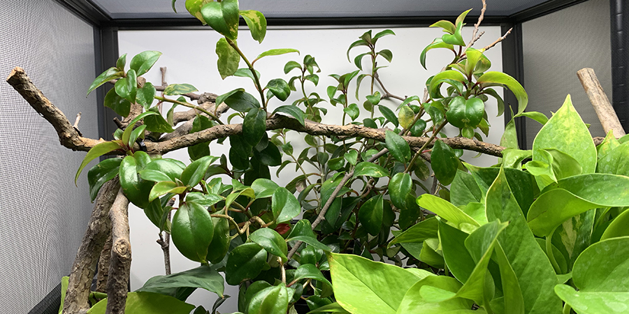 branching in a chameleon cage