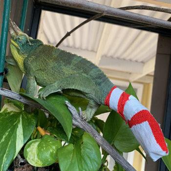 jacksons chameleon with bandaged tail