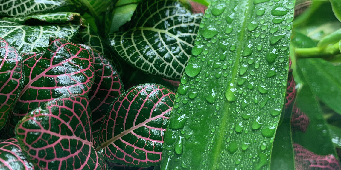 dew on chameleon plant leaves