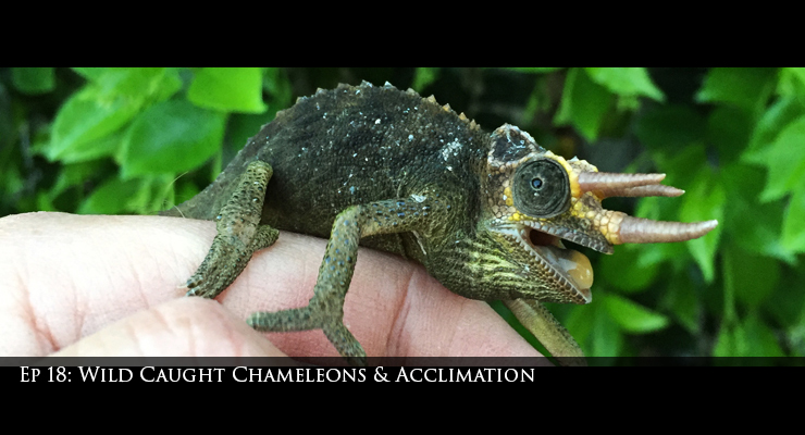 wild caught jacksons chameleon