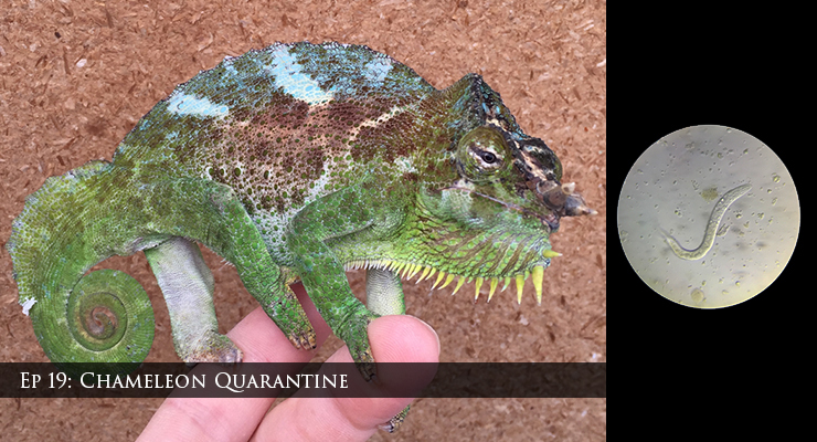 Chameleon in Quarantine