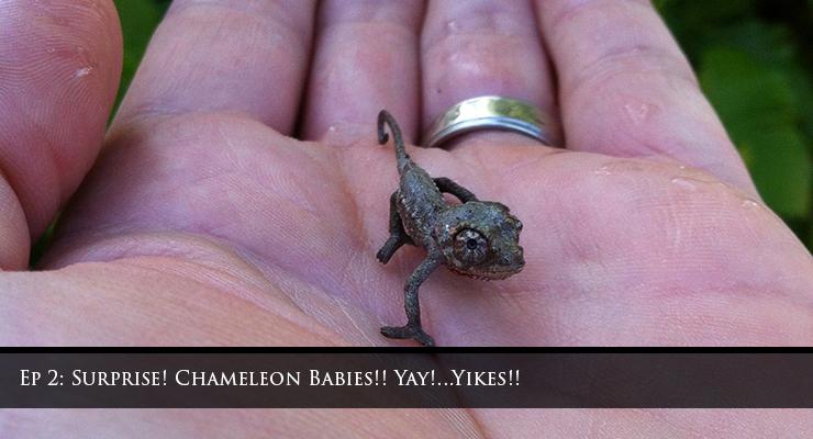 surprise chameleons
