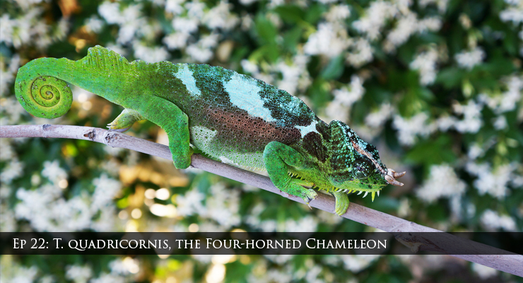 Trioceros quadricornis the four-horned chameleon