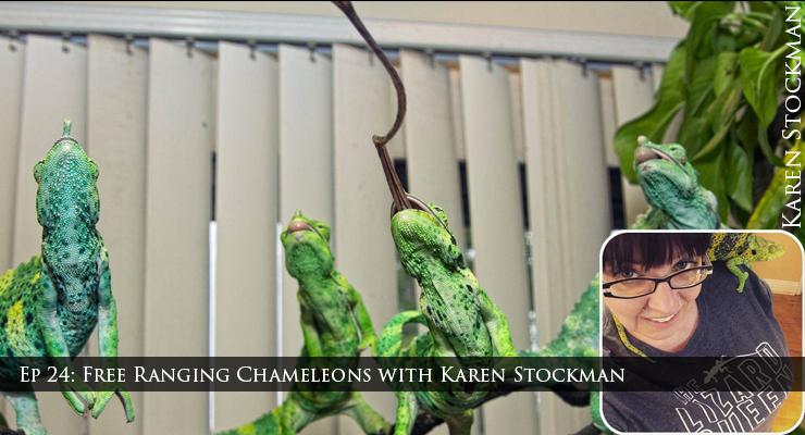 Free ranging chameleons