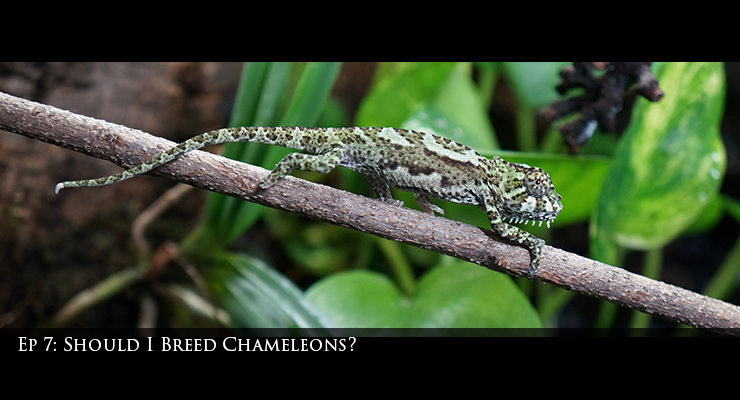 Should I Breed Chameleons?
