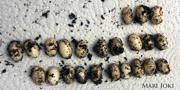 Veiled Chameleon Eggs