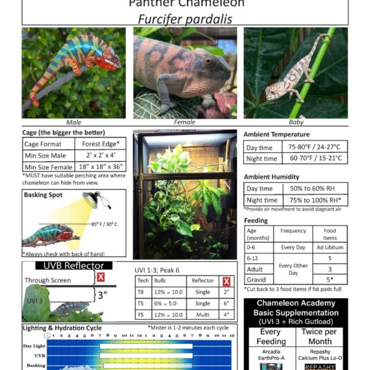 panther chameleon care sheet graphic