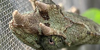 captive born jacksons chameleon