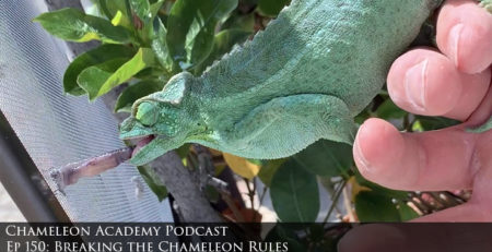 Jacksons Chameleon eating from on hand