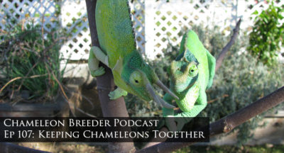Chameleons cohabitating