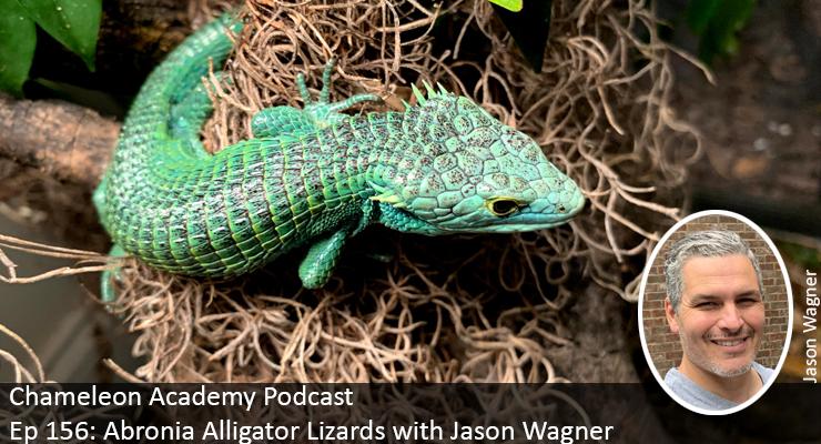 Abronia Alligator lizards