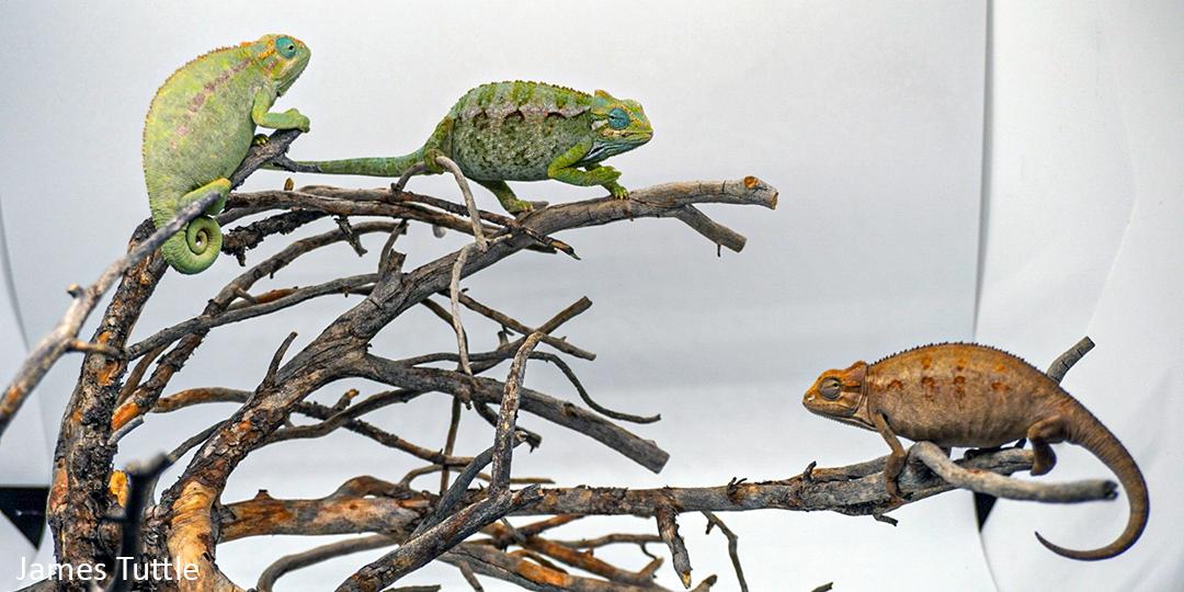 Trioceros ellioti Care - Chameleon Academy