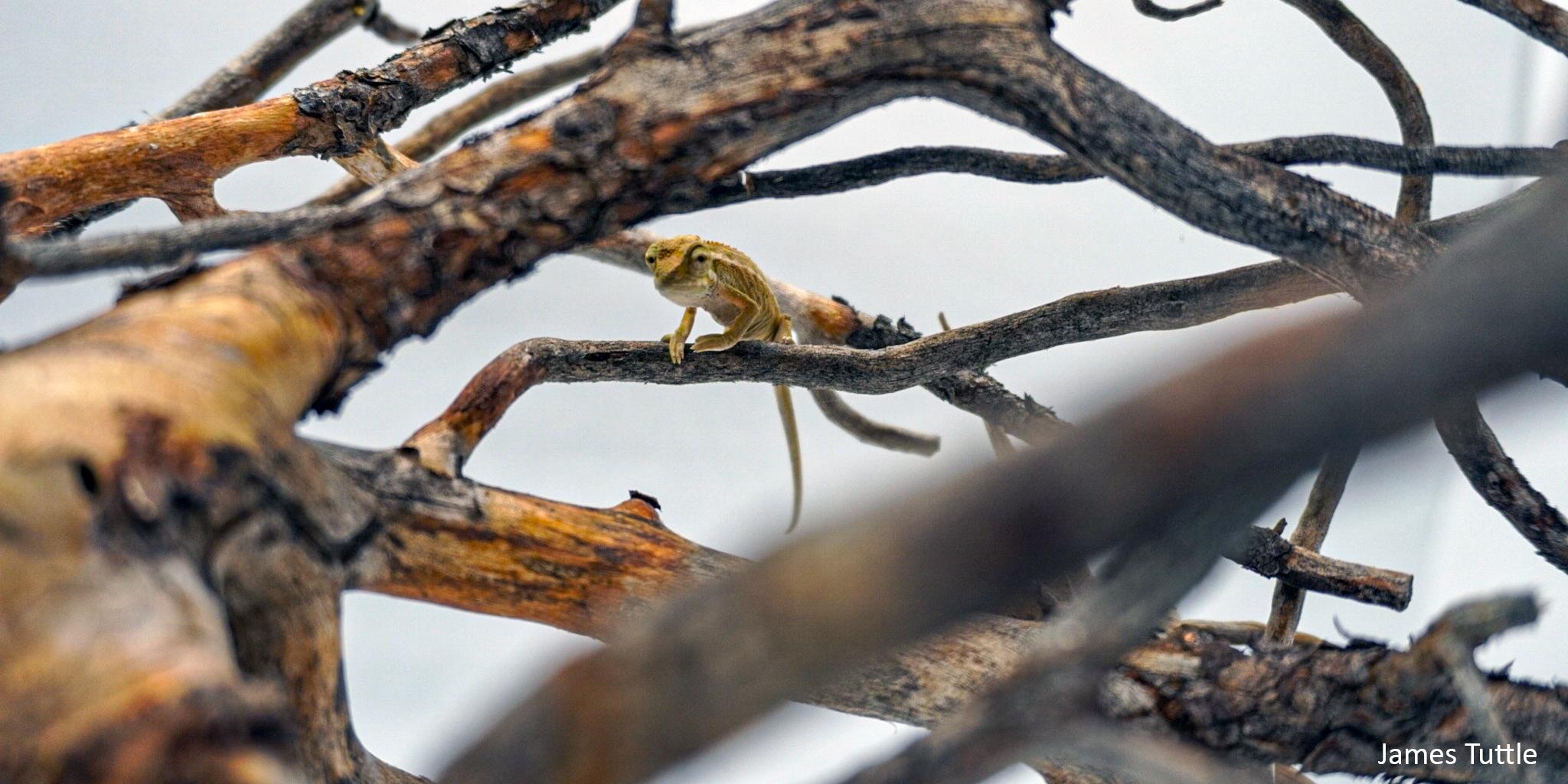 baby elliots chameleon