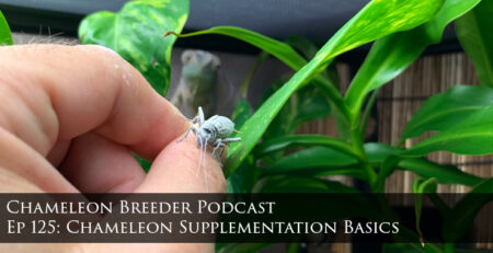 chameleon supplementation