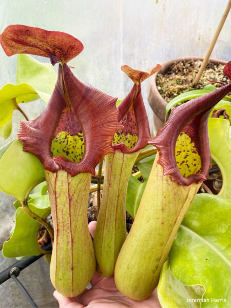 Nepenthes truncata 900x1200