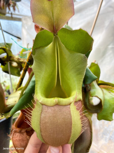 Nepenthes veitchii K