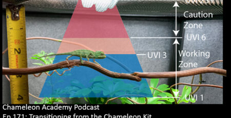 veiled chameleon in UVB