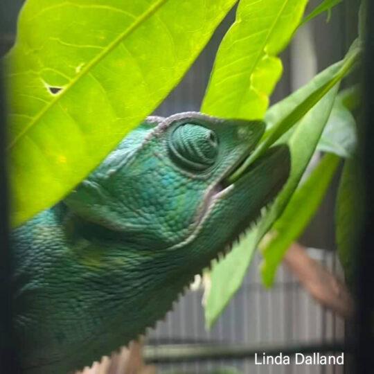 veled chameleon biting plant
