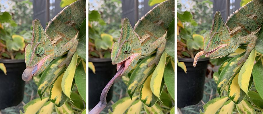 female veiled chameleon tongue shot