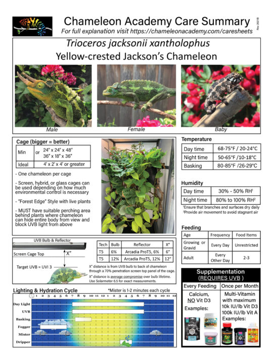 Yellow-crested Jackson's Chameleon Caresheet