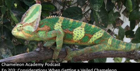 Veiled Chameleon male