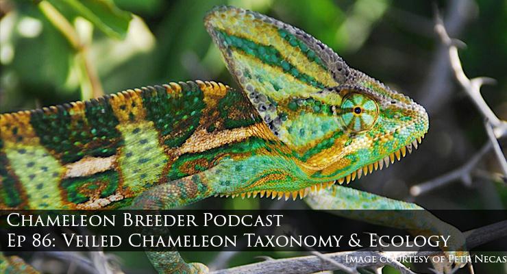 veiled chameleon in Yemen