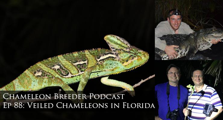 Veiled Chameleons in Florida