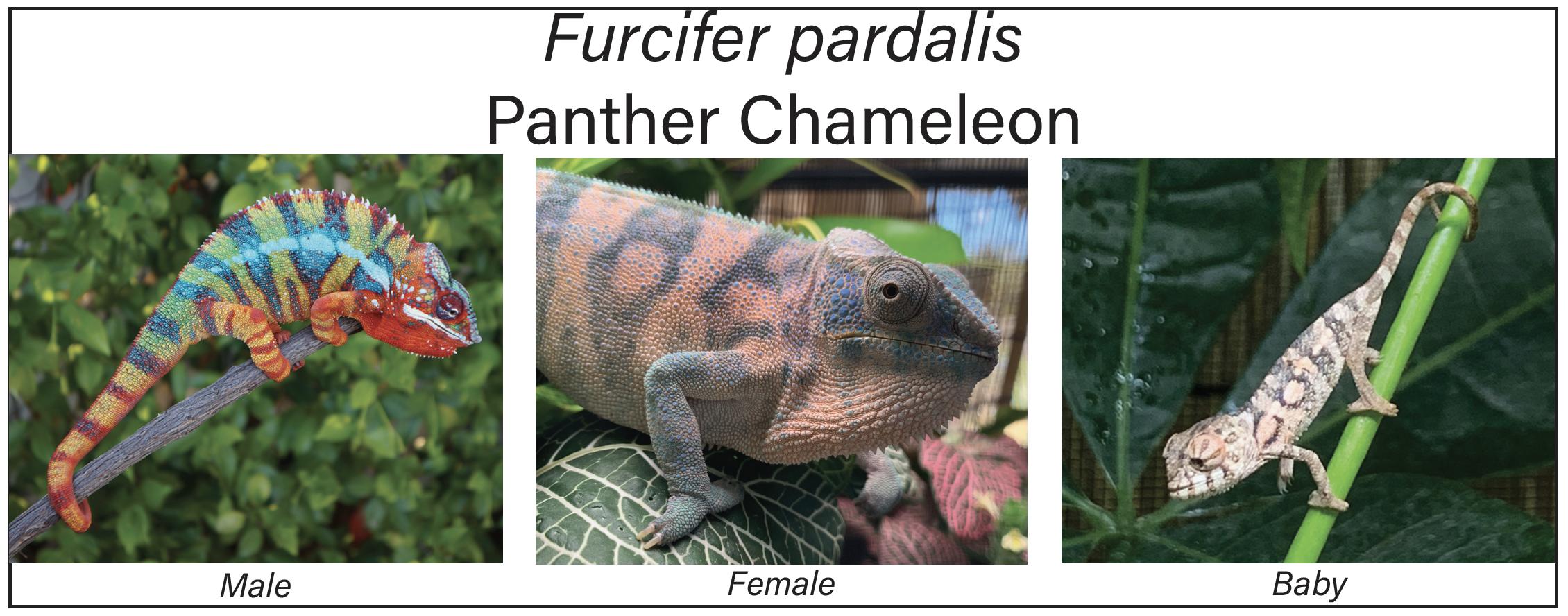 Panther Chameleon Species profile