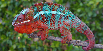 Red body Blue Bar Panther Chameleon