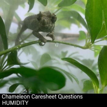 Jackson's Chameleon in fog