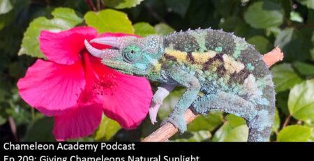 Jackson's Chameleon female